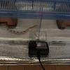 コーンスネーク(蛇)の同居と温度管理
