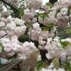 【週刊うさぼう】2/4-2/12一足早い桜の季節