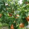 小さな庭の小さな果樹園