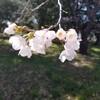 綺麗な桜の写真を撮れたので満足です