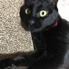 【黒猫日誌】同居4か月突入!成猫の里親になって幸せなこと尽くしの毎日だよ!