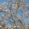 2021年の桜🌸