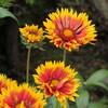 91歳女性が育てた花の紹介(2回連載の2)