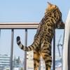 都市伝説!  猫は高いほど安全に落下する?
