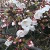 隅田川テラスを散歩してみた。【花見】