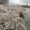 造幣局の「桜の通り抜け」は本日(2017/4/11)から