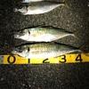 驚愕のアジング釣行〜48,43余裕のギガアジ登場
