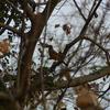 ジィちゃんと探鳥、ひろせ野鳥の森でアカハラ他/2020-12-12