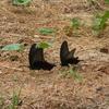 黒い蝶がやってきた