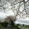 雨の中の桜見物。