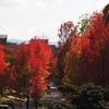 金沢「アメリカ楓通り」の紅葉