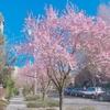 桜 in ワシントン。