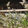 シルバープリペット花が満開です