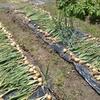 玉葱、収穫のとき