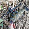 4月中旬にプリスポーンのスモールマウスバスを釣ってきた!