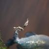 コリドラスの仲間 Corydoras spp.
