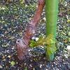 マニュキアフィンガーが枯れて新種に植替えします