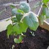 綿の苗を定植しました