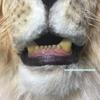 ライオンのかぶりもの製作過程5〜番外編〜