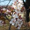 狭山稲荷山公園 『 桜 開花! ユキヤナギとカタクリ  』