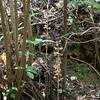 暗い林、イモネヤガラが咲いていました。
