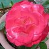 バラ(薔薇)もスズメ(雀)も、春真っ最中!