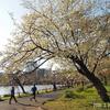 2020.3.24 大島桜