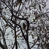 ジィちゃんと探鳥、座間谷戸山公園&丹沢/2020-11-23、富士山麓・中の茶屋でルリビタキ!?/2020-11-24