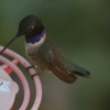 ノドグロハチドリ(Black-chinned Hummingbird)