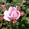 バラ色の日々のバラ園めぐり!?大阪市のバラ園をハシゴしてきた