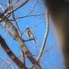 ヒレンジャク・アカハラ・トラツグミ・イカル(大阪城野鳥探鳥20210220 6:30-12:20)
