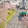 狭山池公園の桜 Ⅲ