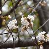 白い桜です