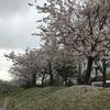 福岡城 舞鶴公園 桜