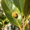 イスノキの葉の虫こぶ