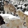 オオカミ特集:オオカミを知って人間&環境を見つめ直す