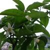 柚子の花_