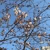 神田上水沿いの桜が開花した