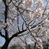 桜満開!石川町「母畑レークサイドセンター」に行ってきた!