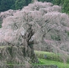 ◎速報◎ 奈良県宇陀市の「又兵衛桜」そろそろ見頃です。