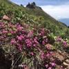 南八ヶ岳(権現岳)の花たち(2018.6.22)