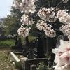 長崎 桜を見に行こう!