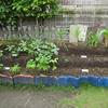 【家庭菜園】オクラを収穫しました(3回目)