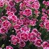 サントリーの花苗、miite(ミーテ)を育ててみた! 株いっぱいに咲き誇るナデシコ!