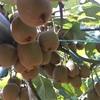#15 キウイフルーツ 少し茶色く