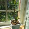 観葉植物メンテ強調週間…その4