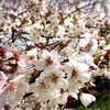 【この春行きたい】桜アフタヌーンティーまとめ・2017