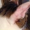 耳の傷は、ほぼ完治