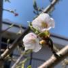 釧路でソメイヨシノが咲きました🌸