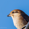 🦜野鳥の回【105】晴れた朝にモズが映える